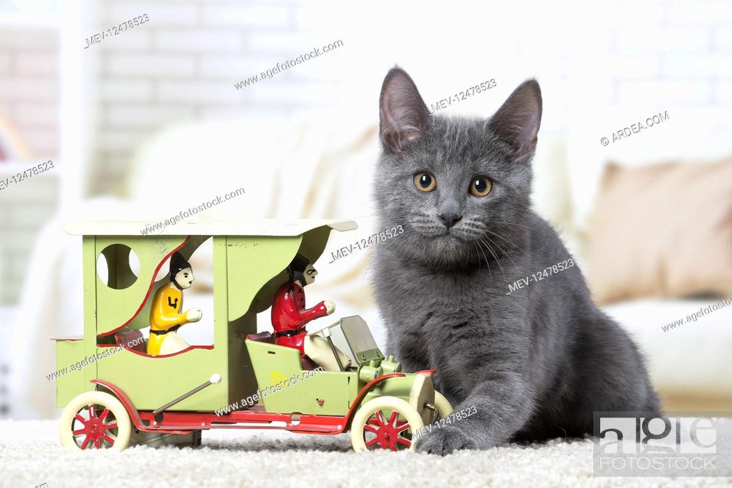 Stock Photo: Chartreux kitten indoors.