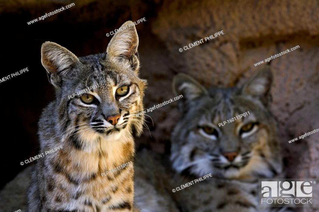 Stock Photo: Two bobcats (Lynx rufus / Felis rufus) resting at cave entrance, native to southern Canada, North America and Mexico.