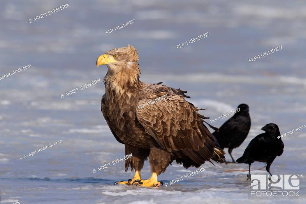Stock Photo: White-tailed Eagle / Sea Eagle / Erne Haliaeetus albicilla and Carrion Crows Corvus corone on frozen lake in winter, Germany.