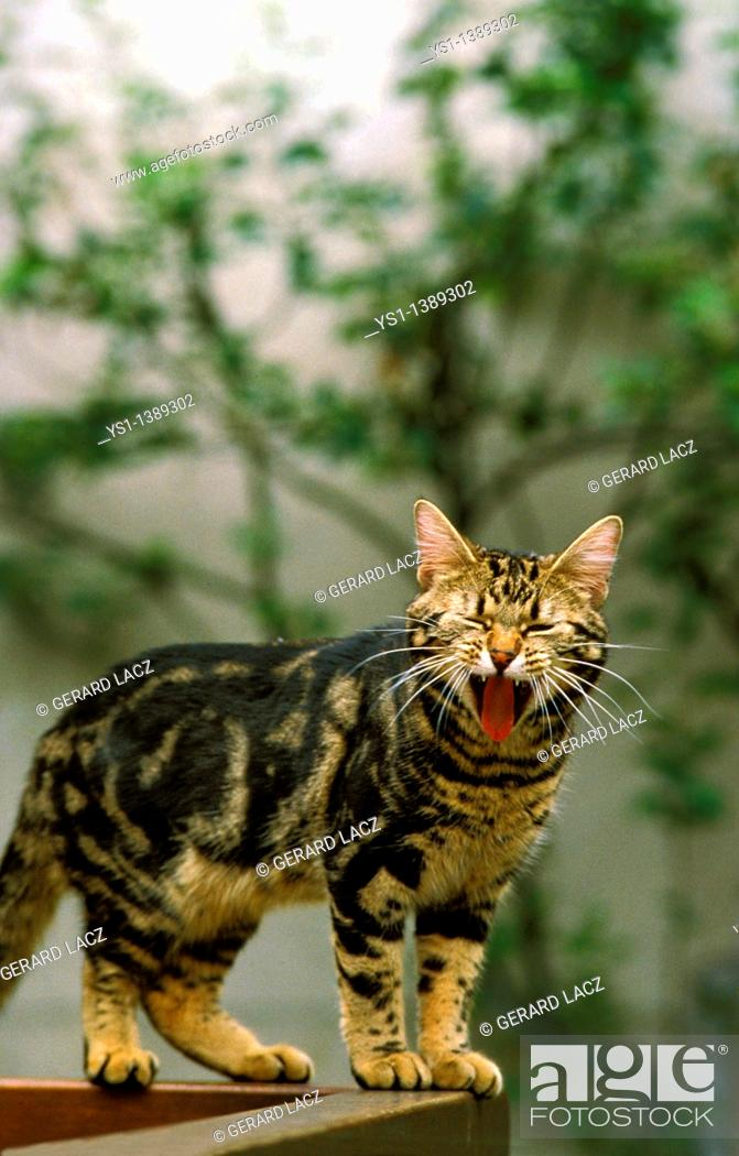 Stock Photo: European Brown Tabby Domestic Cat, Adult Yawning.
