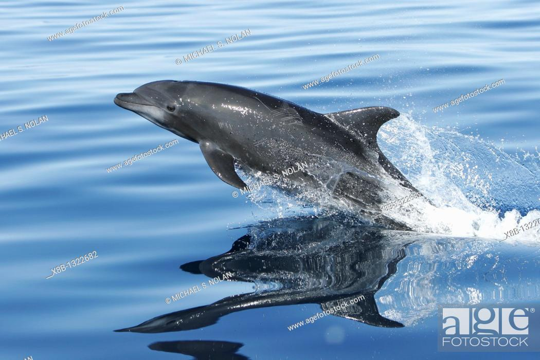 Stock Photo: Adult Bottlenose Dolphin Tursiops truncatus gilli leaping in the upper Gulf of California Sea of Cortez, Mexico.