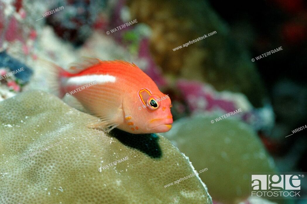 Stock Photo: Arc-eye Hawkfish, Paracirrhites arcatus, Pacific, Micronesia, Palau.