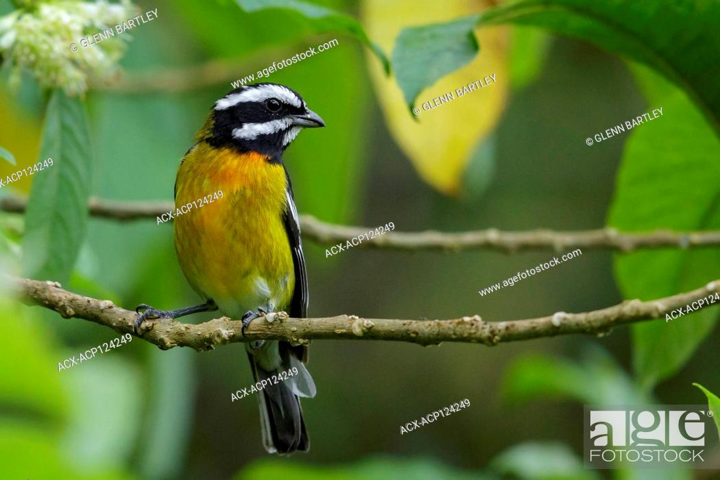 Imagen: Jamaican Spindalis (Spindalis nigricephala) perched on a branch in Jamaica in the Caribbean.