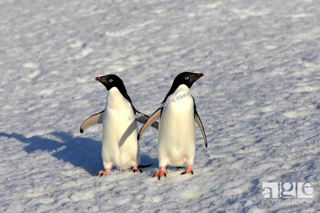 Imagen: Adélie Penguins (Pygoscelis adeliae), adult couple standing in the snow, Brown Bluff, Antarctica.