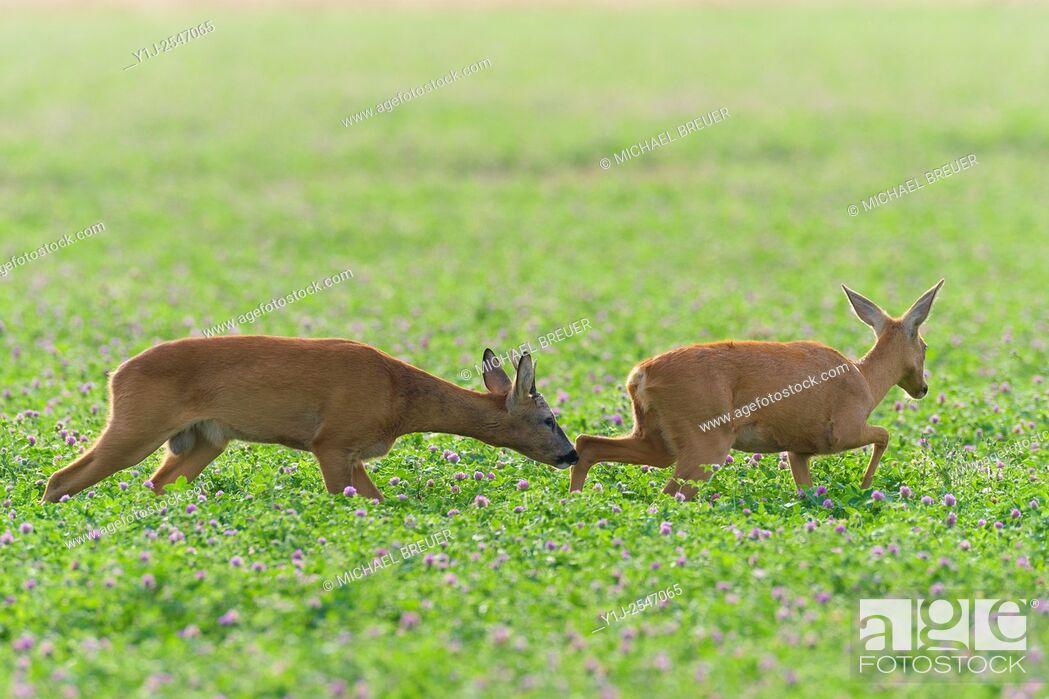 Stock Photo: Western Roe Deers (Capreolus capreolus) in Red clover, Roebuck and Doe, Mating Season, Hesse, Germany, Europe.