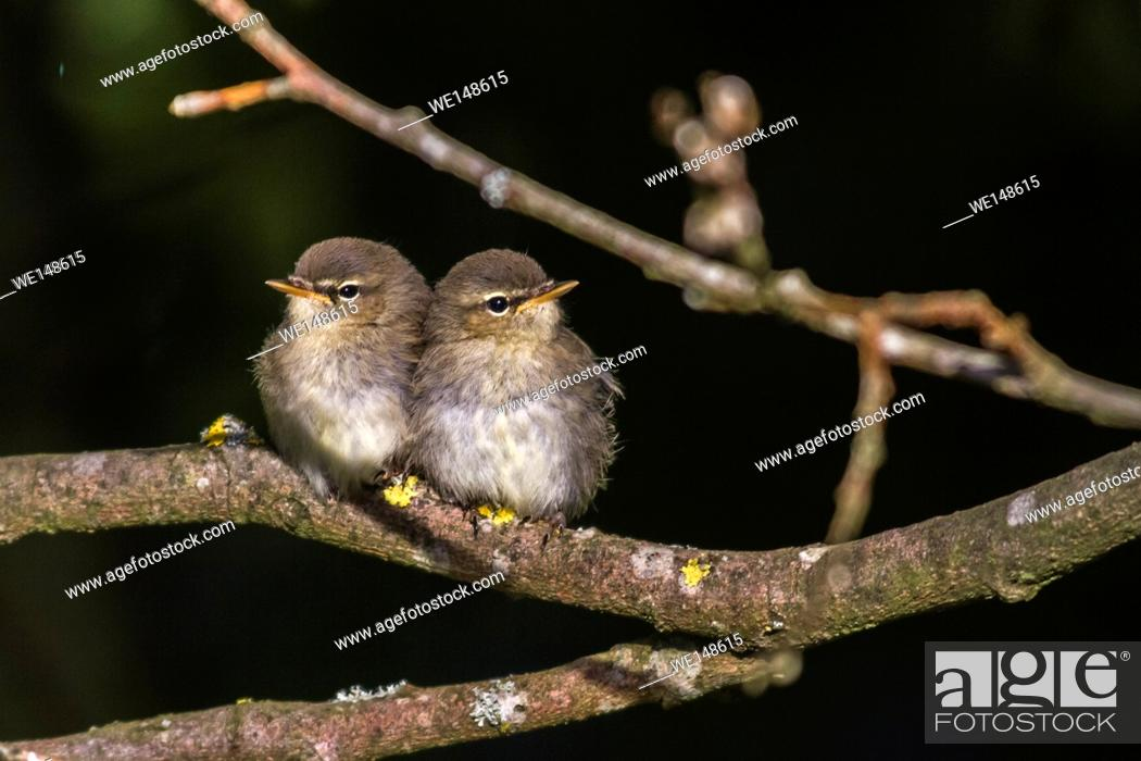 Stock Photo: Germany, saarland, homburg - Two common whitethroats on a branch.