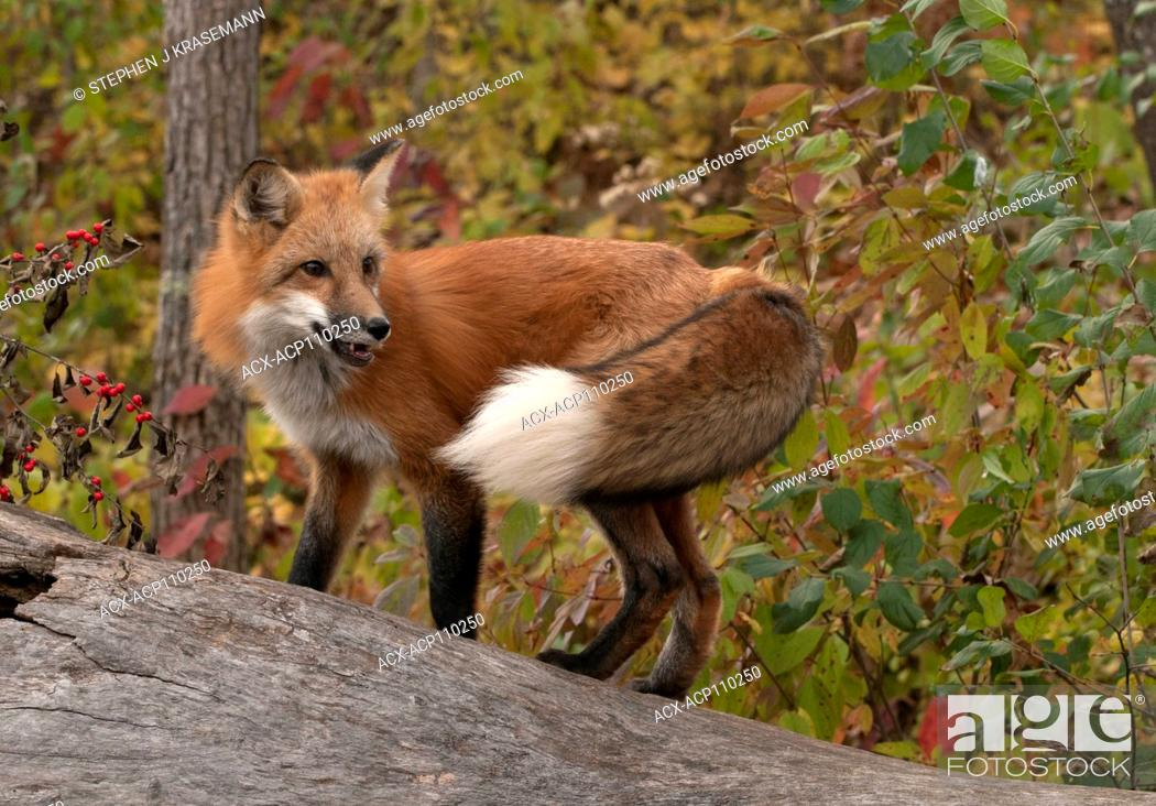 Stock Photo: Red fox standing on log in autumn forest, Vulpes vulpes), captive.