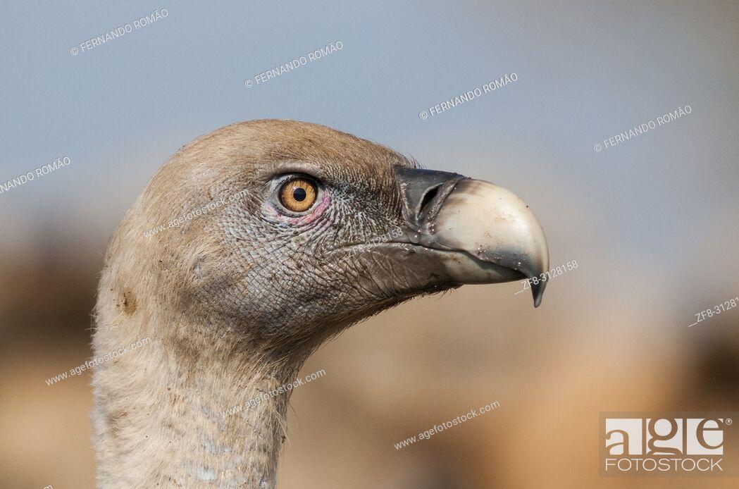 Imagen: Griffon Vulture at Faia Brava Reserve, Portugal.
