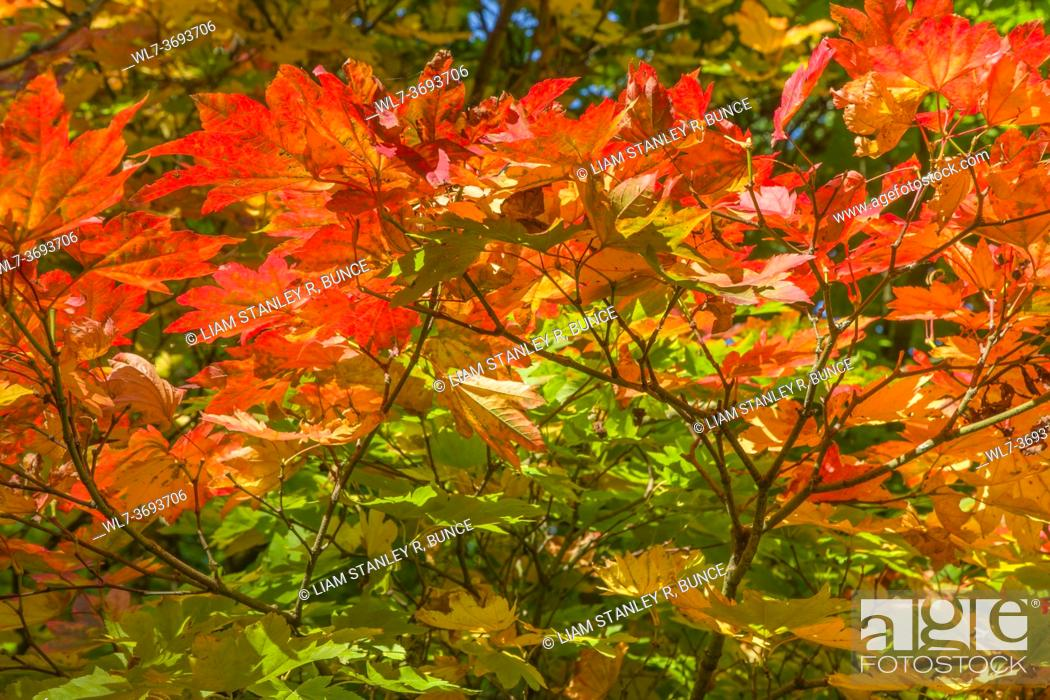 Stock Photo: Downy Japanese Maple (Acer japonicum) Queenswood Herefordshire UK. September 2020.