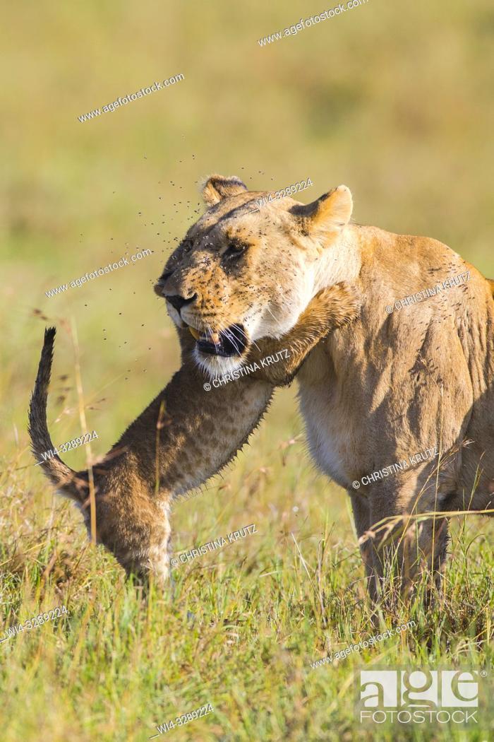 Stock Photo: African Lion (Panthera leo) female with cub, Maasai Mara National Reserve, Kenya, Africa.