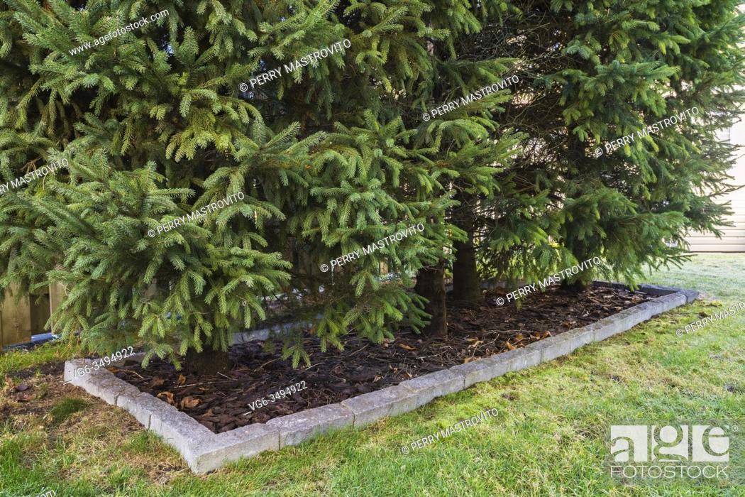 Stock Photo: Picea abies - Norway Spruce trees in cut stone border with tree bark mulch in autumn, Quebec, Canada. This image is property released. CUPR0195.