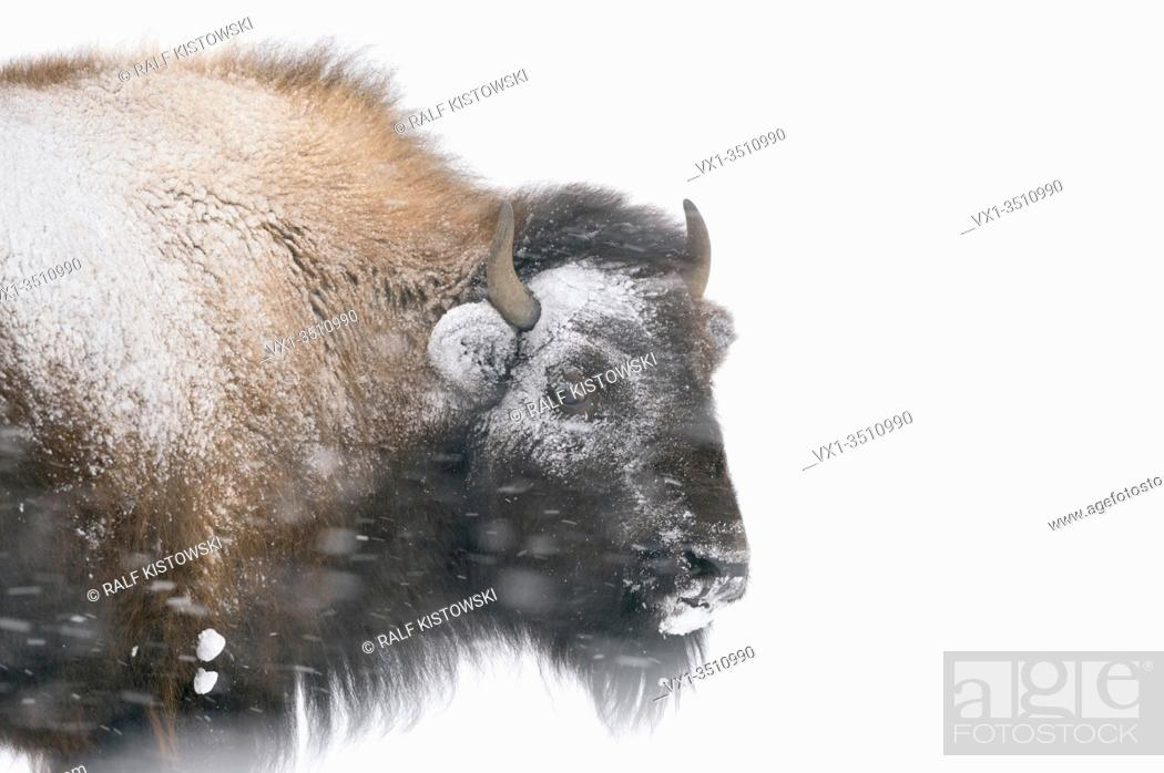 Stock Photo: American Bison / Amerikanischer Bison ( Bison bison ) in winter, headshot, covered, crusted with ice and snow, during a blizzard, strong wind, heavy snowfall.