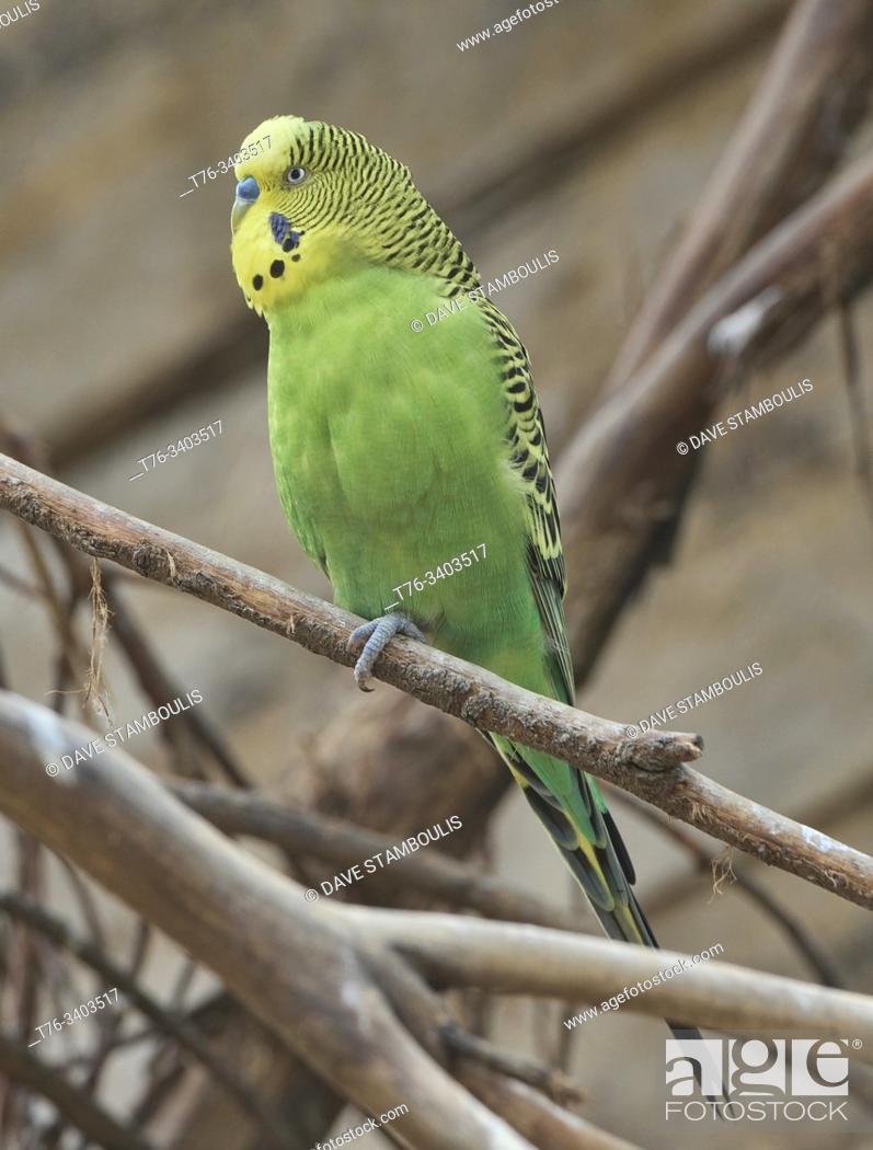 Imagen: Colourful budgerigar (Melopsittacus undulatus), Ecuador.