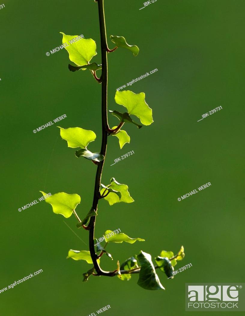 Stock Photo: Ivy (hedera helix).