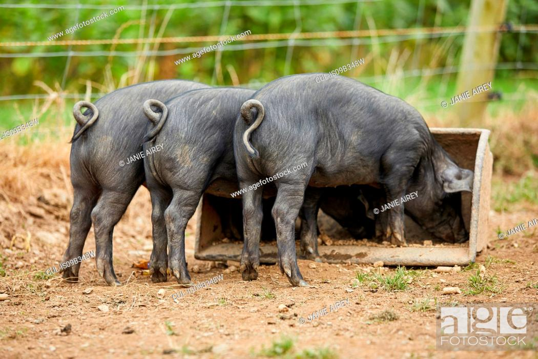 Stock Photo: Rear view of piglets on farm feeding from trough.