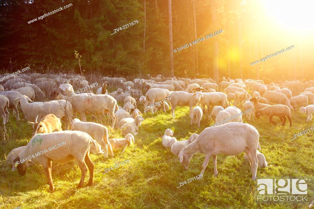 Stock Photo: Landscape of a Sheep flock (Ovis aries) in spring, Upper Palatinate, Germany.