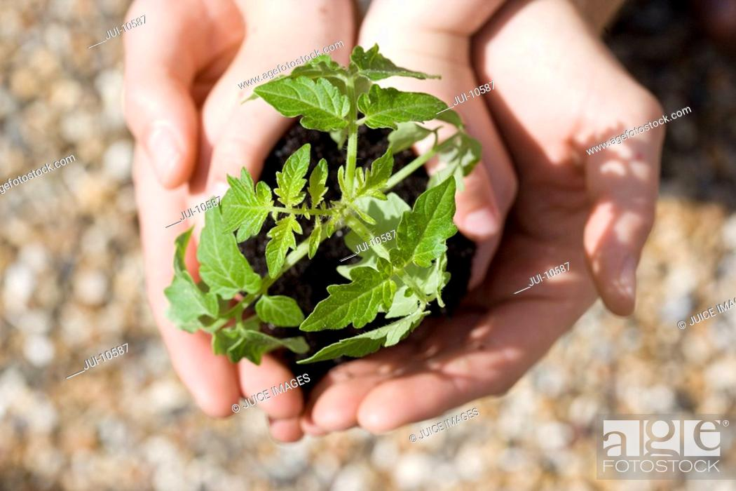 Stock Photo: Close-up overhead view of baby tomato plant in child's hands, cupped by adults hands,.