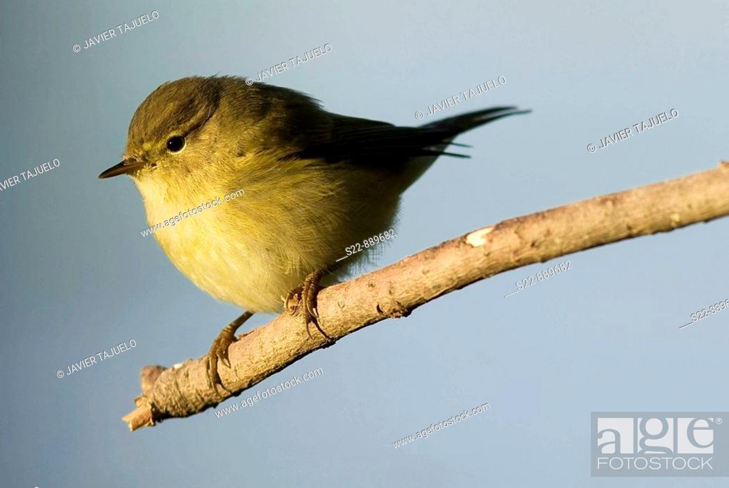 Stock Photo: Chiffchaff (Phylloscopus collibita).