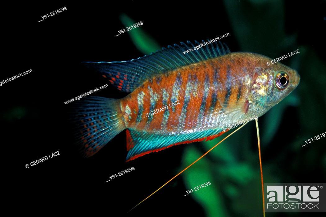 Stock Photo: Banded or Giant Gourami, colisa fasciata.