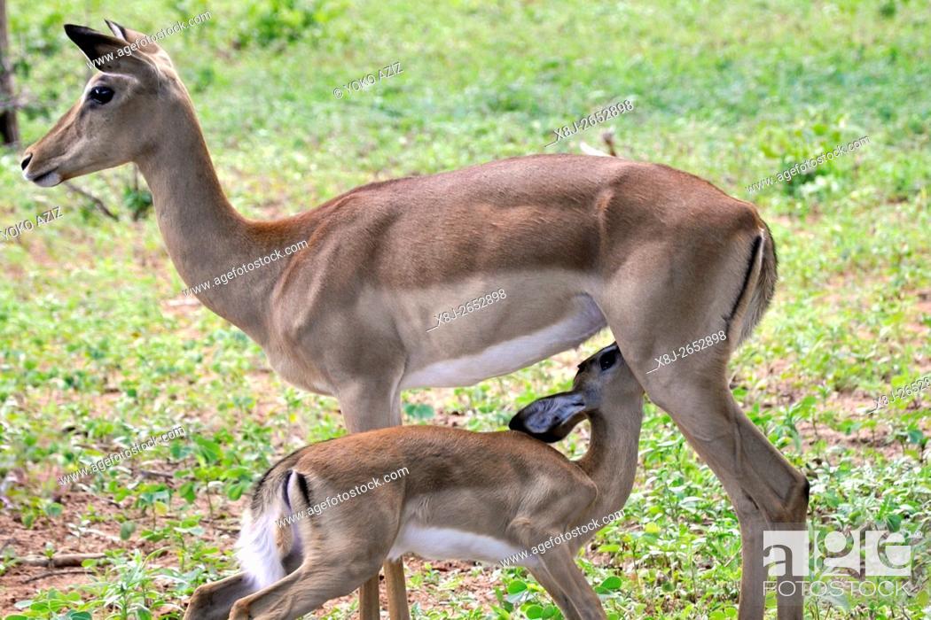 Imagen: impala, Chobe National Park, Botswana.
