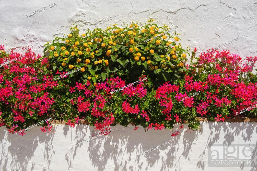 Imagen: Flowers on a white wall, white village of Mijas. Malaga province Costa del Sol. Andalusia, Southern Spain Europe.