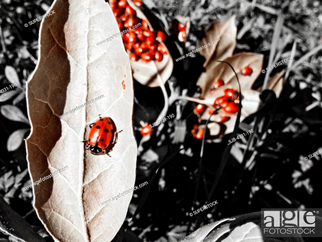 Stock Photo: Huge Clump of Ladybugs Roam and Mate in the Forests.