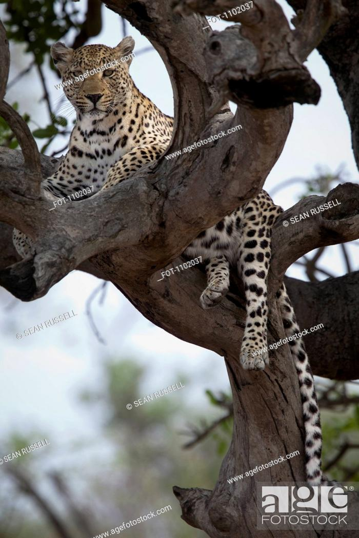 Stock Photo: A leopard lying in the branches of a bare tree.