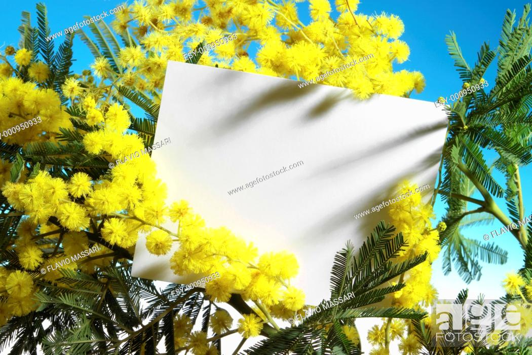 Stock Photo: mimosa flowers with blank card.