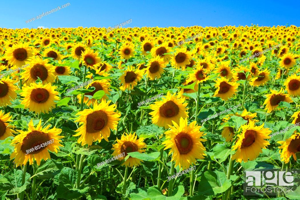Stock Photo: common sunflower (Helianthus annuus), sunflower field with blue sky in backlight, Switzerland.