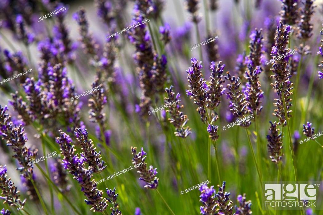 Stock Photo: Lavender, France, Plateau De Valensole, Provence-Alpes-Cote d'Azur.
