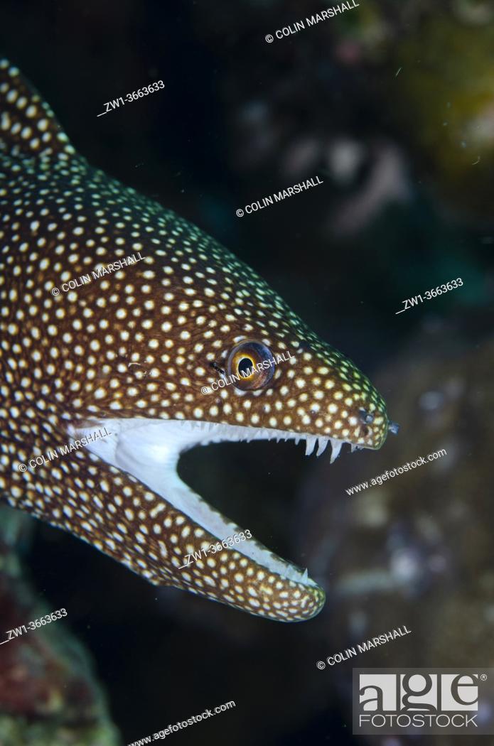 Stock Photo: White-mouthed Moray Eel (Gymnothorax meleagris), Ulami dive site, Seraya, Karangasem, Bali, Indonesia, Indian Ocean.