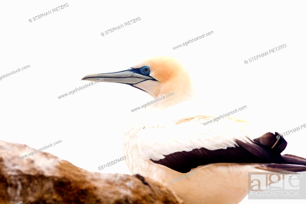 Stock Photo: Portrait of resting gannet isolated on white.