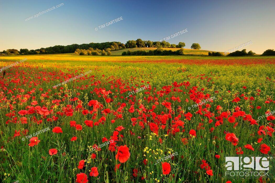 Stock Photo: wild poppies, field, Kent, England, UK, .