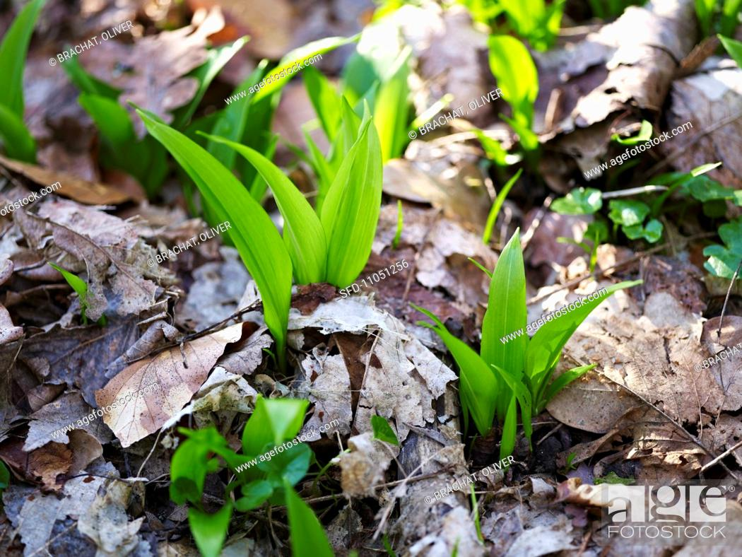 Stock Photo: Chive growing in a forest close-up.