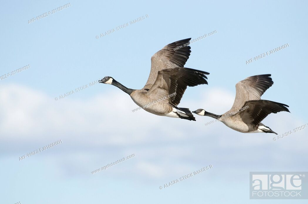 Stock Photo: Pair of Canada Geese flying in tandem over Creamer's Field Migratory Waterfowl Refuge, Fairbanks, Interior Alaska, Spring.