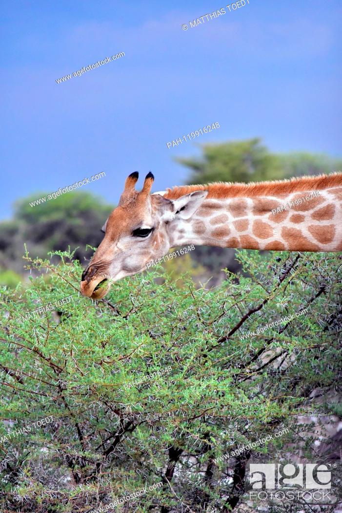 Stock Photo: Giraffe looking at an acacia in the Etosha National Park, taken on 05.03.2019. The Giraffe (giraffa) belongs to the pairhorses and with a weight of up to 1600.