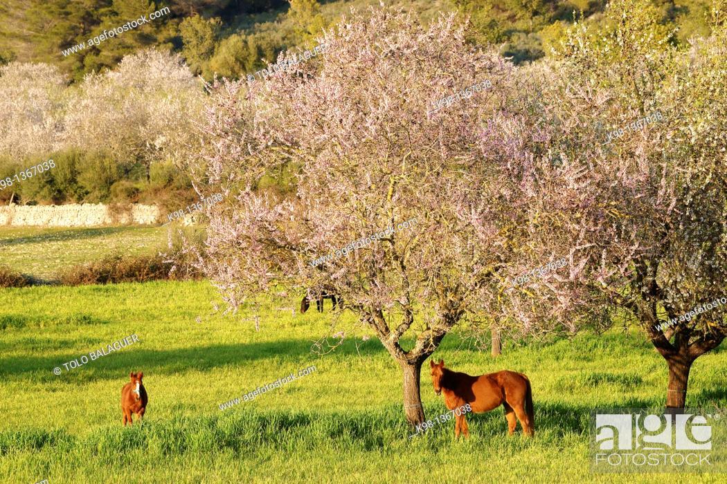 Stock Photo: Horses from almond blossom, Albenya, Randa, Algaida, Mallorca Balearic Islands, Spain.