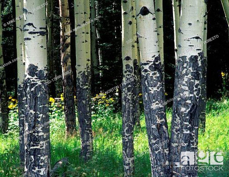Imagen: Aspen trees in a forest, Rocky Mountain National Park, Colorado, USA.