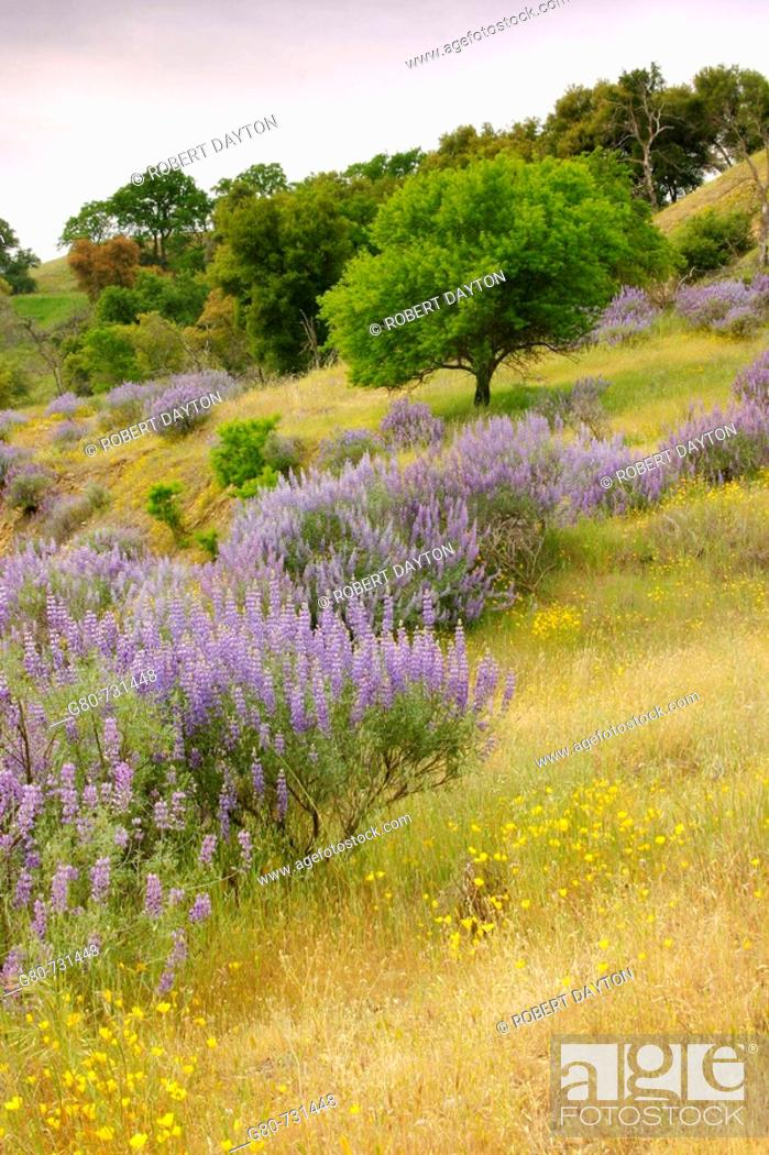 Stock Photo: Bush Lupine and wildflowers at Knight's Ferry in the foothills of California, USA.
