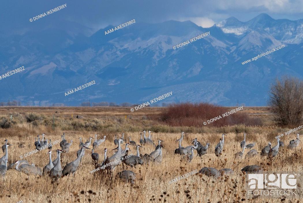 Stock Photo: Sandhill Cranes (Grus canadensis) Sangre de Cristos back, Monte Vista National Wildlife Refuge, Colorado, USA.
