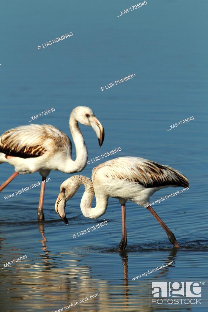 Stock Photo: Tow flamingos on the salt flats of San Pedro del Pinatar, Murcia, Spain.