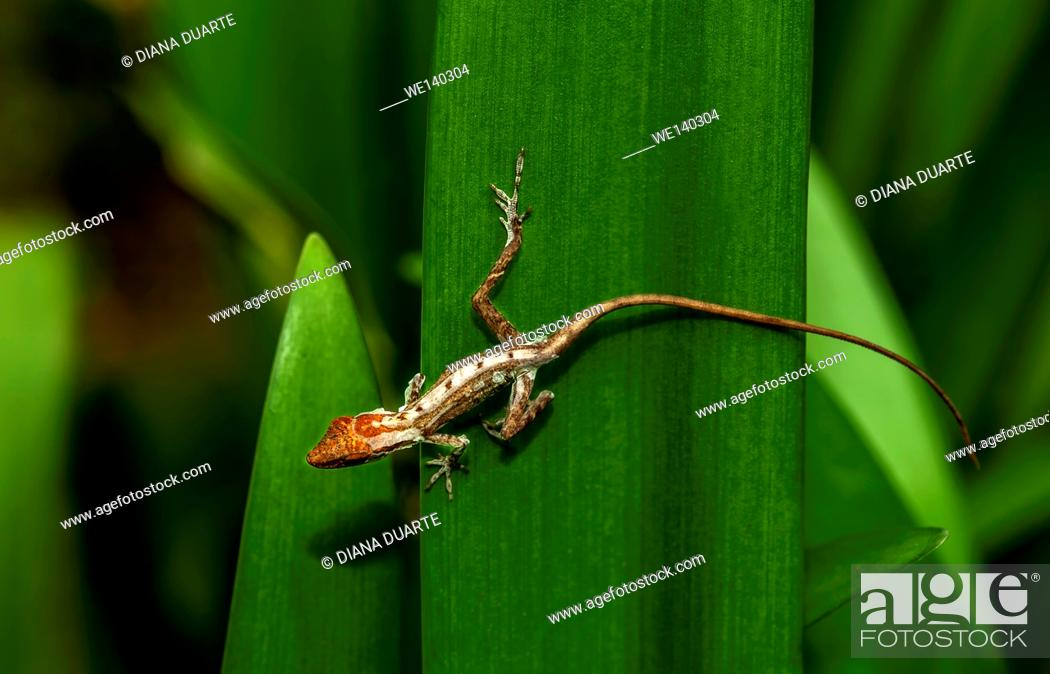 Stock Photo: 'Anolis ( Anolis )'. Some lizards are like snakes, tarantulas, and stick insects: they climb out of their old skin, leaving it behind in one piece.