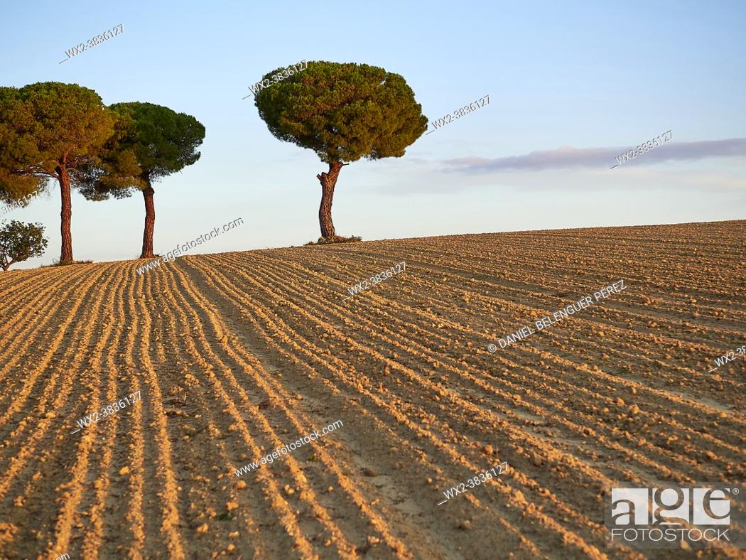 Stock Photo: Group of Pine tree (pinus pinea) between ceral lands in Villafáfila nature reserve, Zamora, Castile and Leon, Spain.