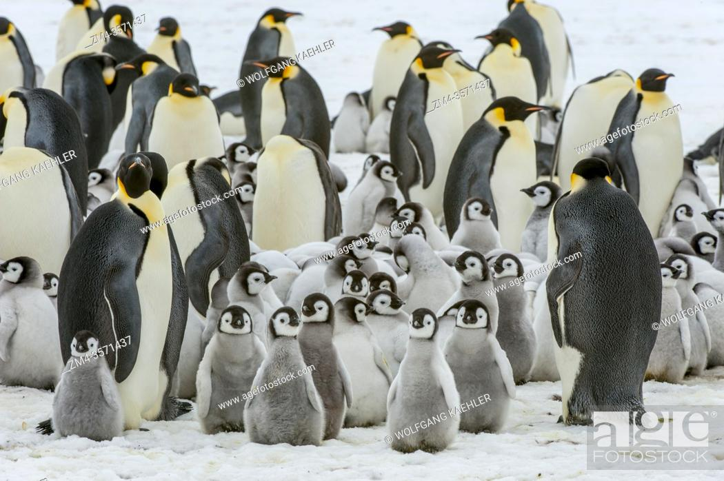 Stock Photo: View of an Emperor penguin (Aptenodytes forsteri) colony on the sea ice at Snow Hill Island in the Weddell Sea in Antarctica.