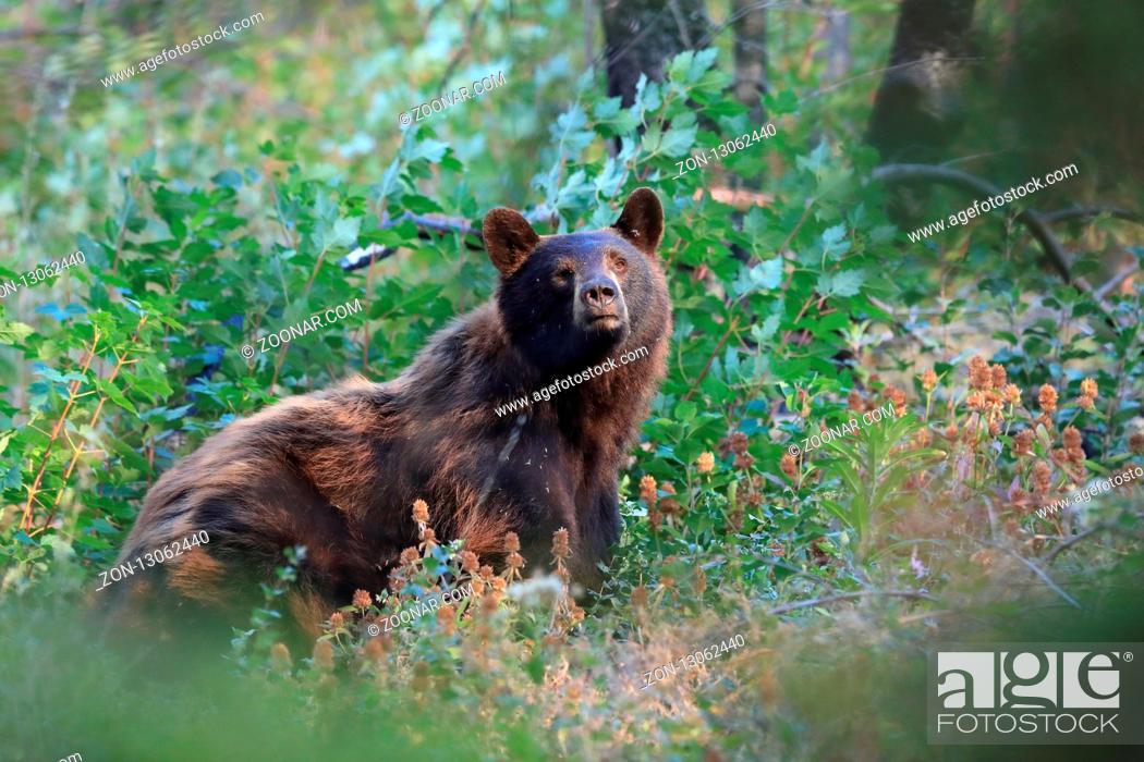Stock Photo: American black bear (Ursus americanus), Glacier National Park, Montana.