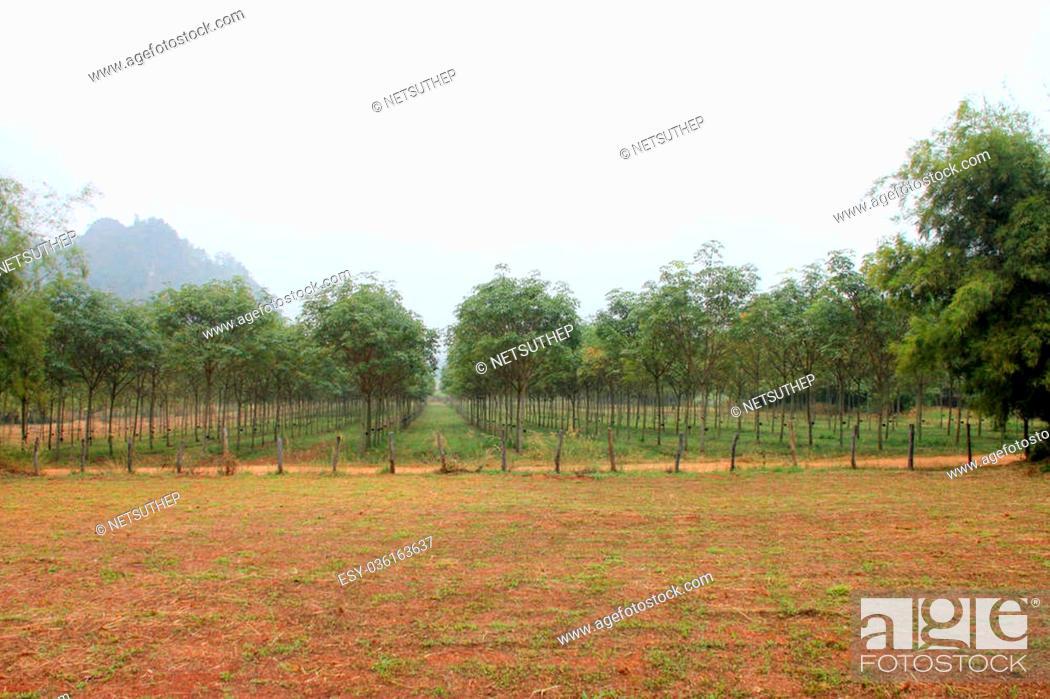 Stock Photo: Rubber tree - Hevea brasiliensis (A. Juss.) Muell. Arg., plantation in northeastern Thailand.