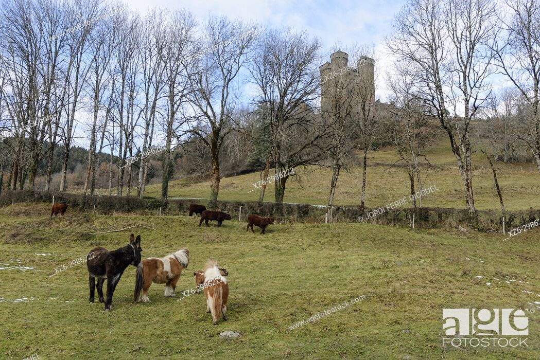 Stock Photo: Cattle front the Chteau d'Anjony castle, Tournemire, Cantal department, France, Europe.