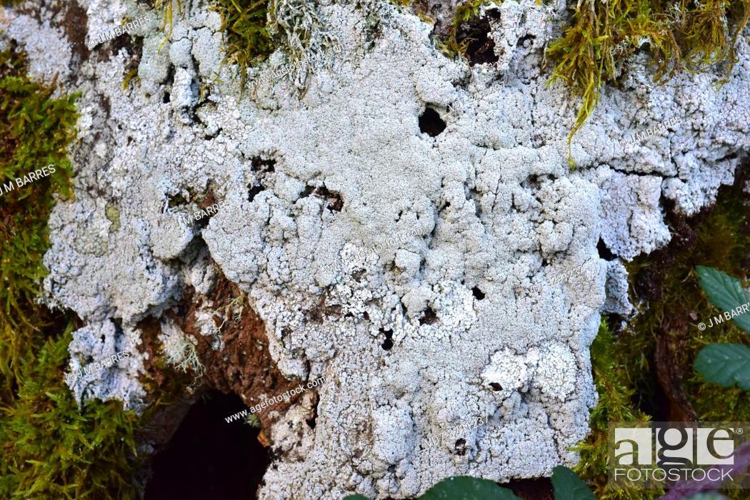 Stock Photo: Pertusaria amara (grey) and Pertusaria albesces (white) two crustoses lichens. This photo was taken in Monte Santiago Natural Monument, Burgos province.