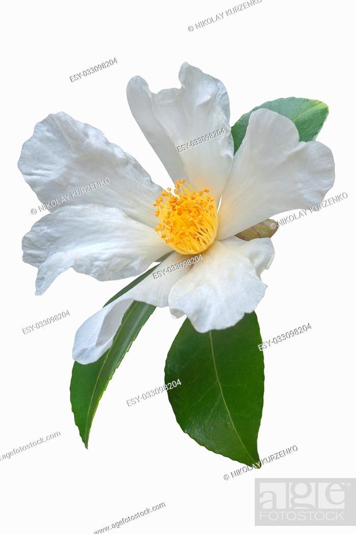 Imagen: Tea oil camellia (Camellia oleifera). Called Oil-seed camellia also. Image of flower isolated on white background.