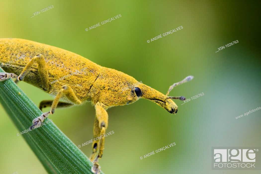 Stock Photo: Lixus angustatus, Portugal.